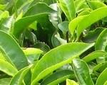 tea-leaves-160-120
